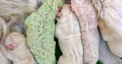Ce chiot est né avec un pelage vert et ses humains l'ont appelé Pistachio
