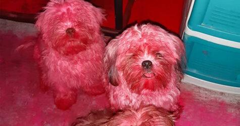 Des chiots sont devenus roses après avoir envahi la trousse de maquillage de leur propriétaire