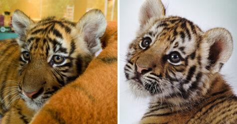 Un couple commande un chaton, mais reçoit un tigre à la place