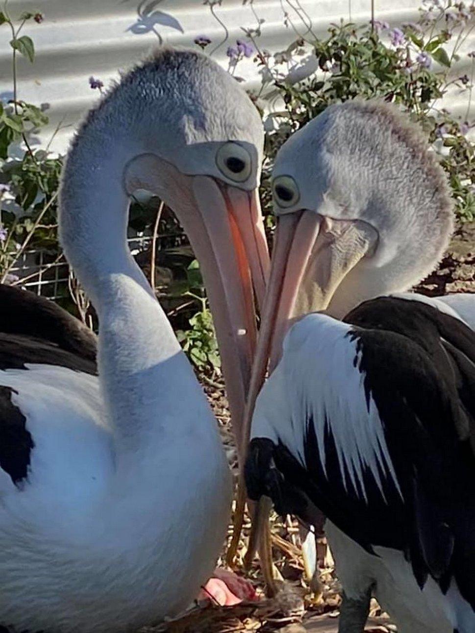 Un couple de pélicans est ravi de voir un oeuf éclore après avoir essayé d'avoir des bébés pendant 6 ans