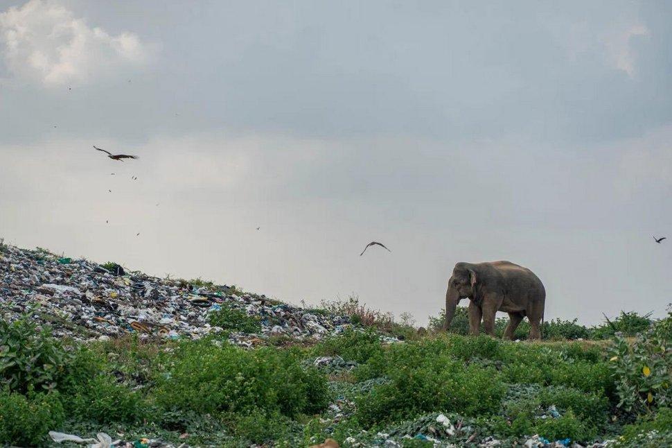 Une photo déchirante d'éléphants qui mangent des déchets remporte le premier prix