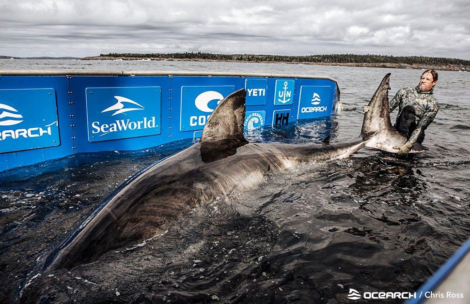 Un grand requin blanc de 1606 kilos a été capturé