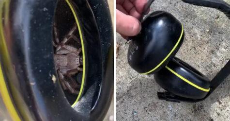 Un homme trouve une énorme araignée sparassidae cachée dans ses écouteurs