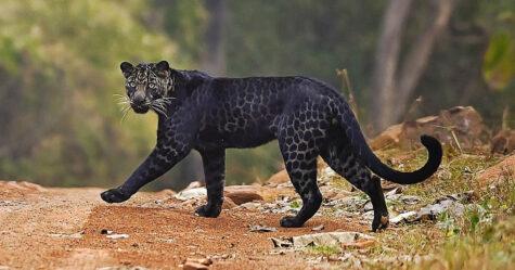 Un rare léopard noir a été photographié alors qu'il traversait la route et chassait le cerf dans un parc national indien