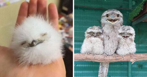Ces mignons bébés oiseaux podarges ont une allure très expressive