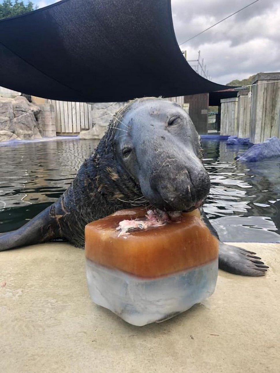 Un phoque reçoit un énorme gâteau de glace au poisson pour son 31e anniversaire