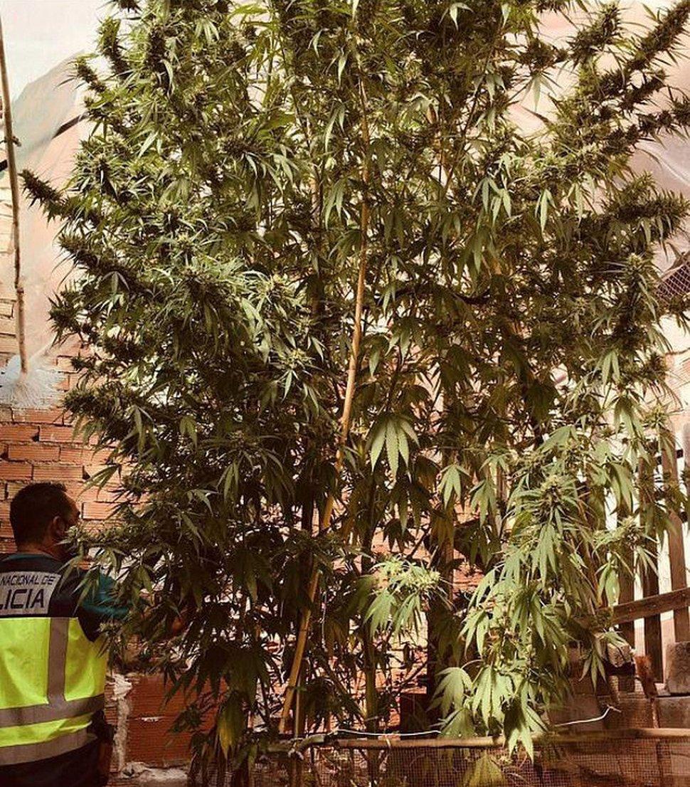 La police arrête un couple après avoir repéré une plante de cannabis de 5 mètres dans leur jardin