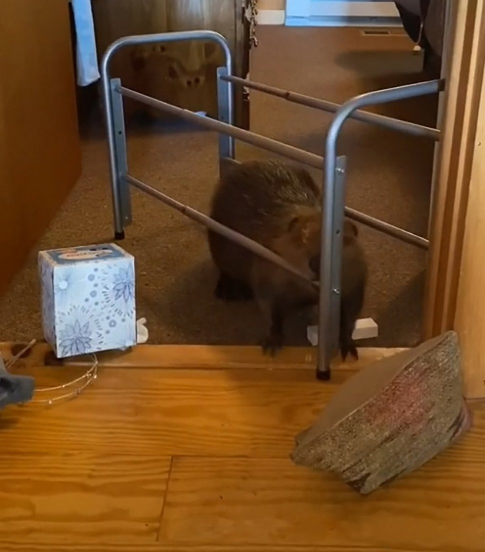 Ce bébé castor secouru s'est mis à construire des barrages dans la maison de sa sauveteuse à l'aide d'objets divers