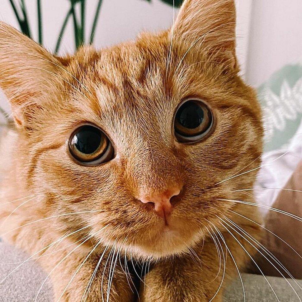 Ce chat imite le Chat potté à merveille pour demander des friandises à son propriétaire