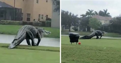 Un énorme alligator aperçu en train de traverser un terrain de golf en Floride