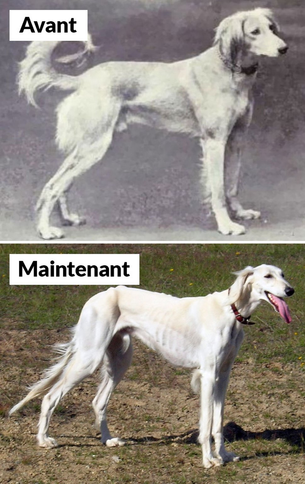 18 photos qui montrent les races de chiens d'aujourd'hui par rapport à 100 ans plus tôt