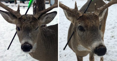 Ce cerf qui visite une ville à Noël chaque année est revenu avec une flèche dans la tête