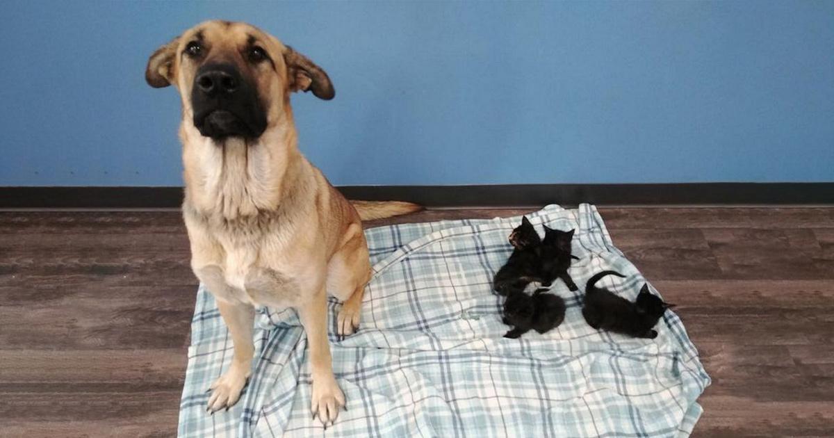 Cette chienne errante a été trouvée blottie dans la neige gardant au chaud des chatons orphelins