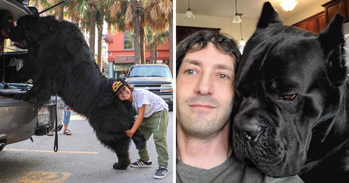 22 chiens géants qui ne comprennent pas à quel point ils sont gros