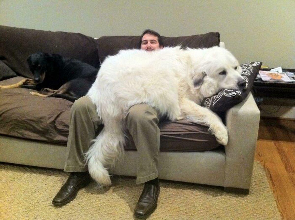 22 chiens géants qui ne comprennent pas à quel point ils sont gros ! Par Janvier Doyon Chiens-enormes-006