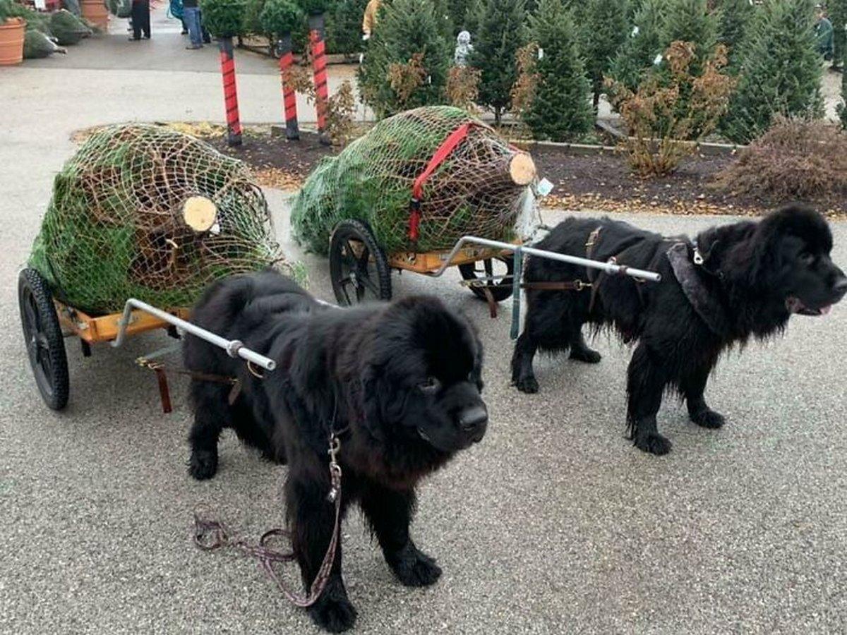 22 chiens géants qui ne comprennent pas à quel point ils sont gros ! Par Janvier Doyon Chiens-enormes-014