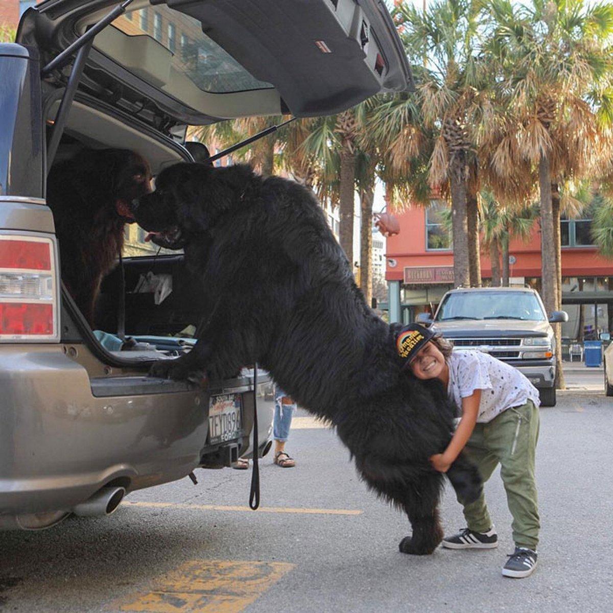 22 chiens géants qui ne comprennent pas à quel point ils sont gros ! Par Janvier Doyon Chiens-enormes-016