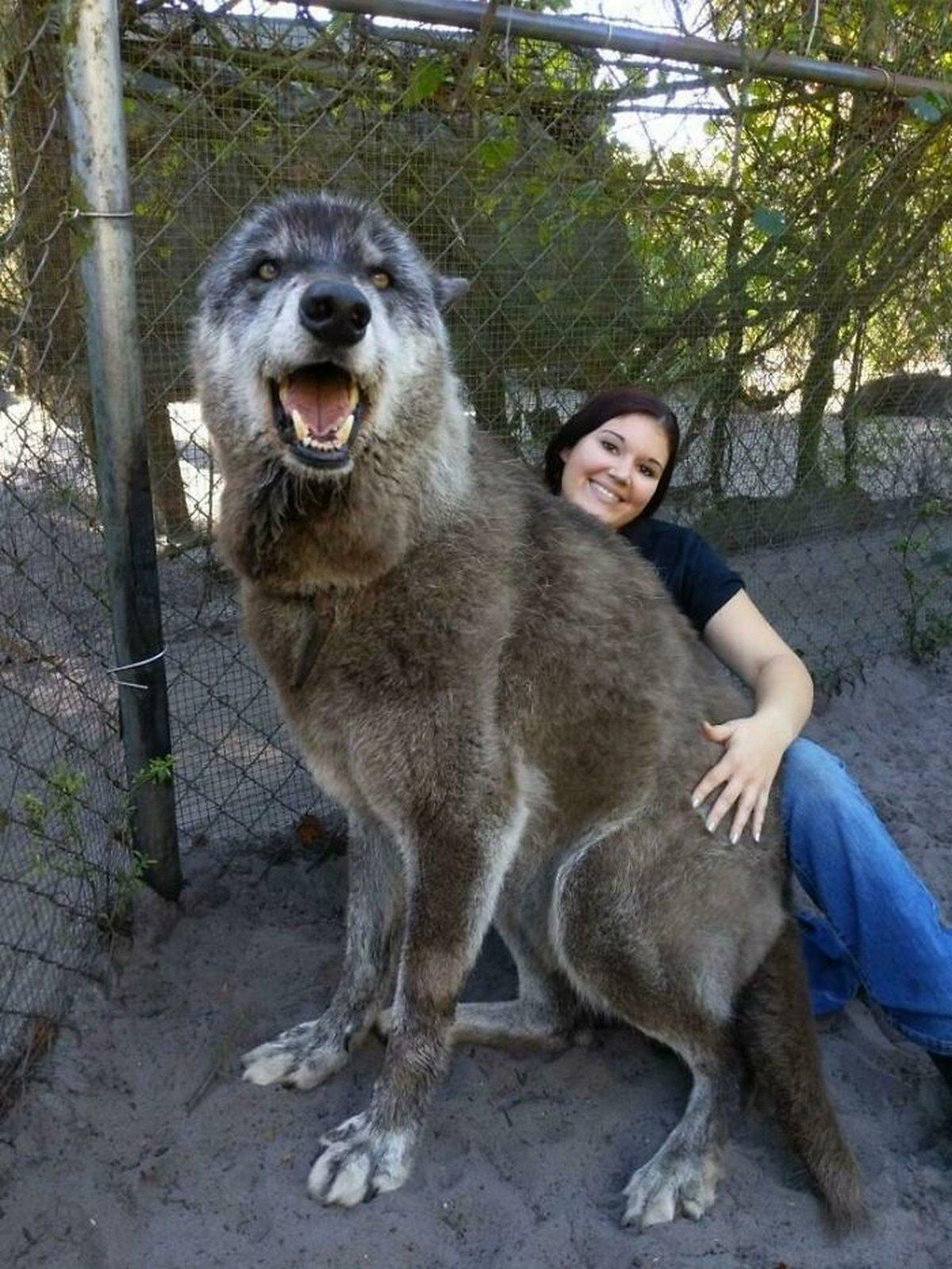 22 chiens géants qui ne comprennent pas à quel point ils sont gros ! Par Janvier Doyon Chiens-enormes-017
