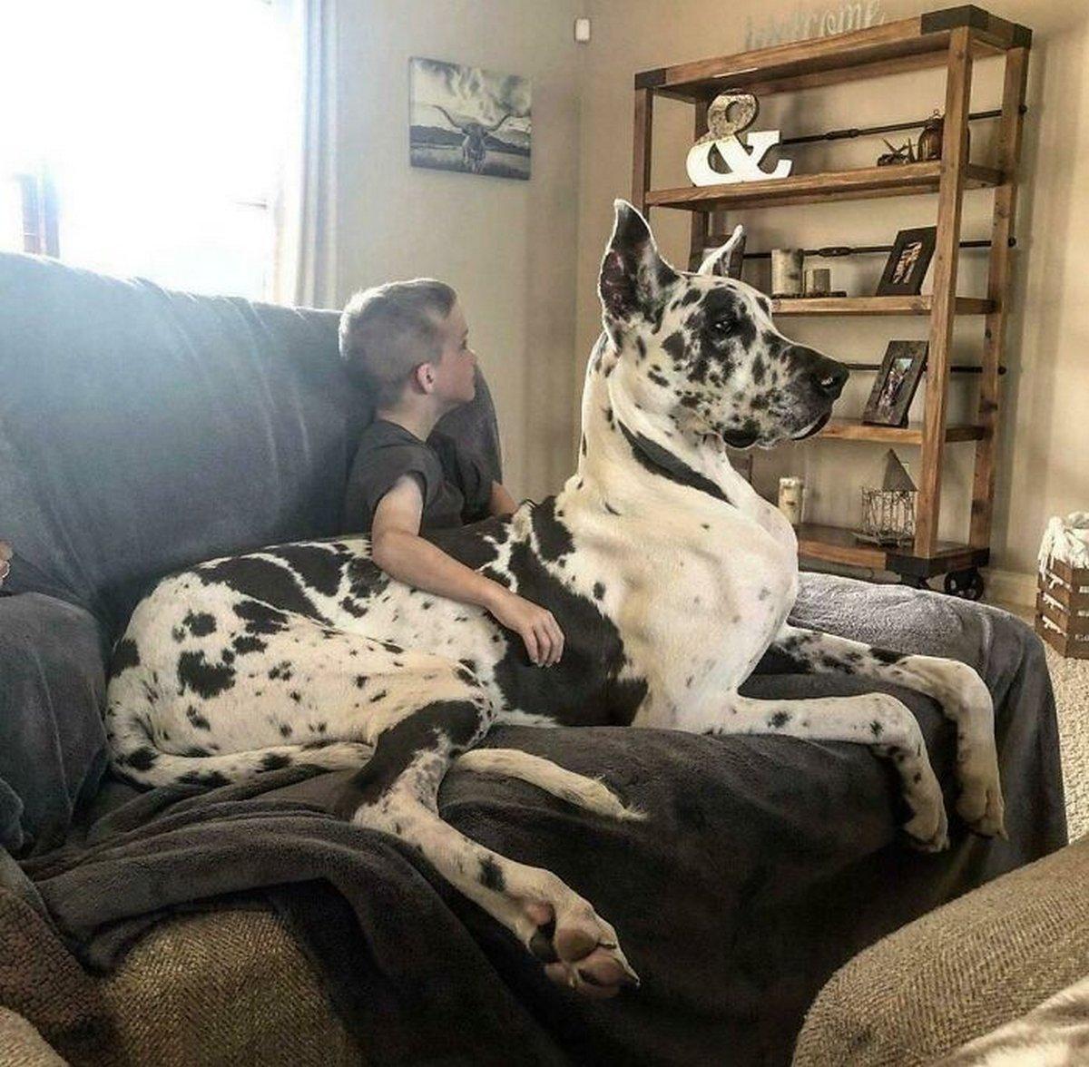 22 chiens géants qui ne comprennent pas à quel point ils sont gros ! Par Janvier Doyon Chiens-enormes-018