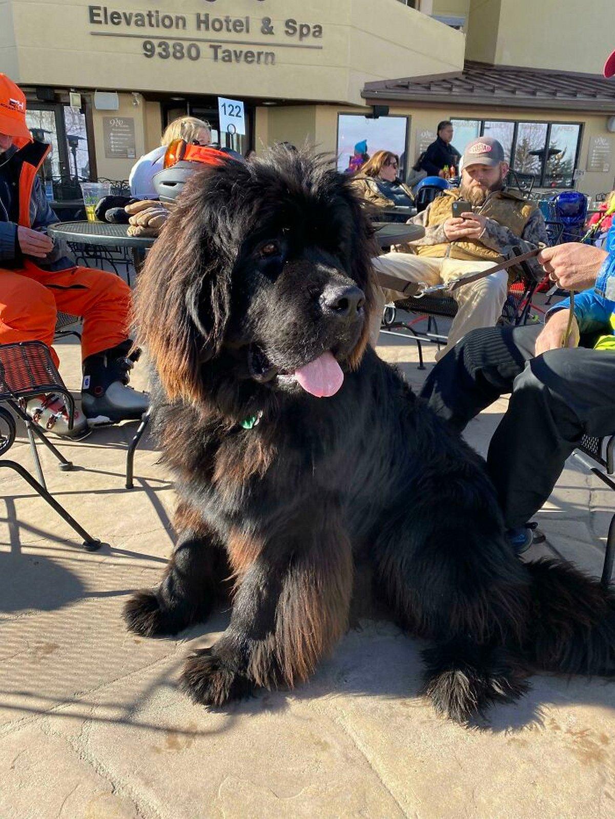 22 chiens géants qui ne comprennent pas à quel point ils sont gros ! Par Janvier Doyon Chiens-enormes-023