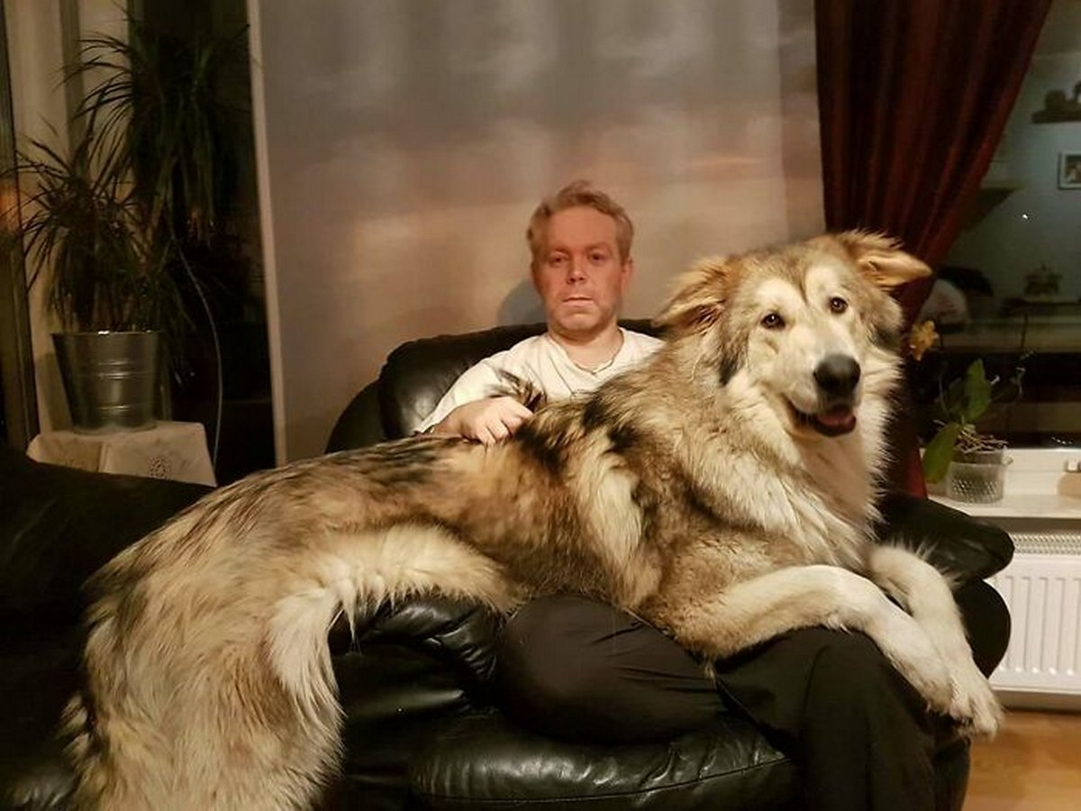 22 chiens géants qui ne comprennent pas à quel point ils sont gros ! Par Janvier Doyon Chiens-enormes-024