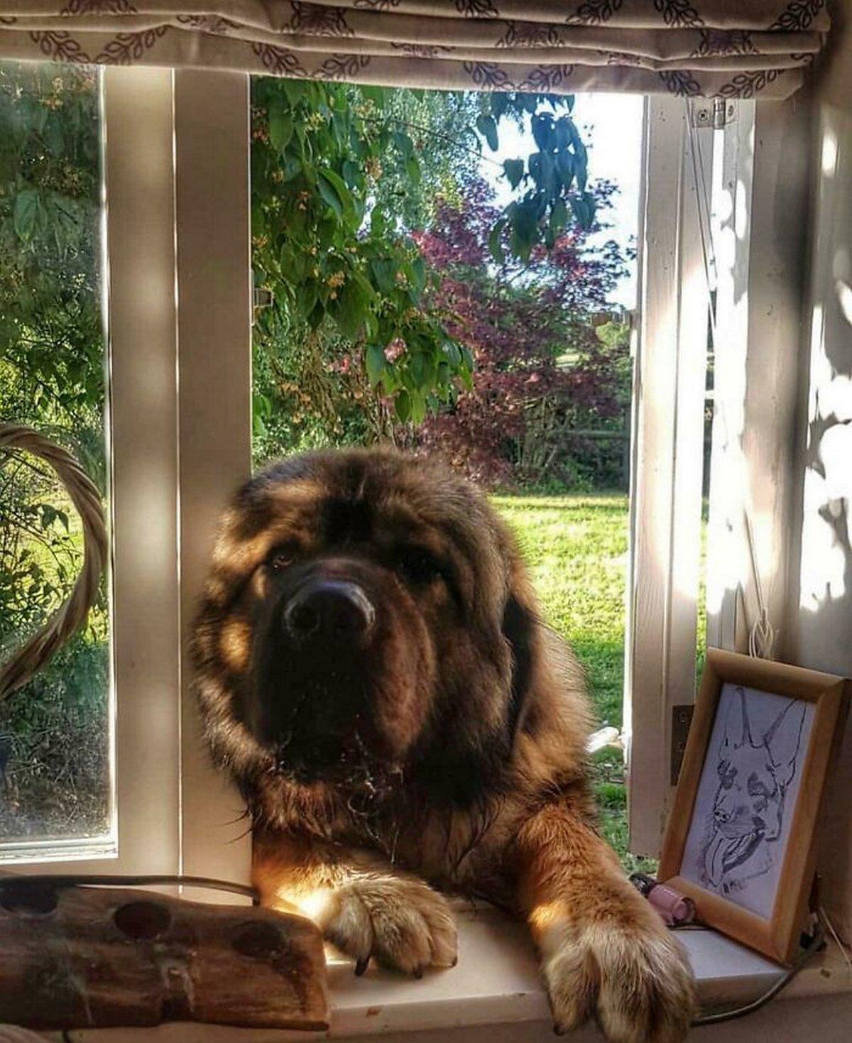 22 chiens géants qui ne comprennent pas à quel point ils sont gros ! Par Janvier Doyon Chiens-enormes-026