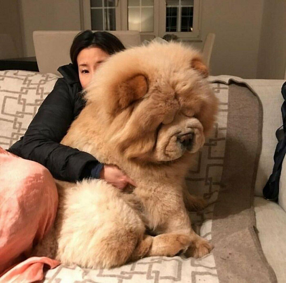 22 chiens géants qui ne comprennent pas à quel point ils sont gros ! Par Janvier Doyon Chiens-enormes-028
