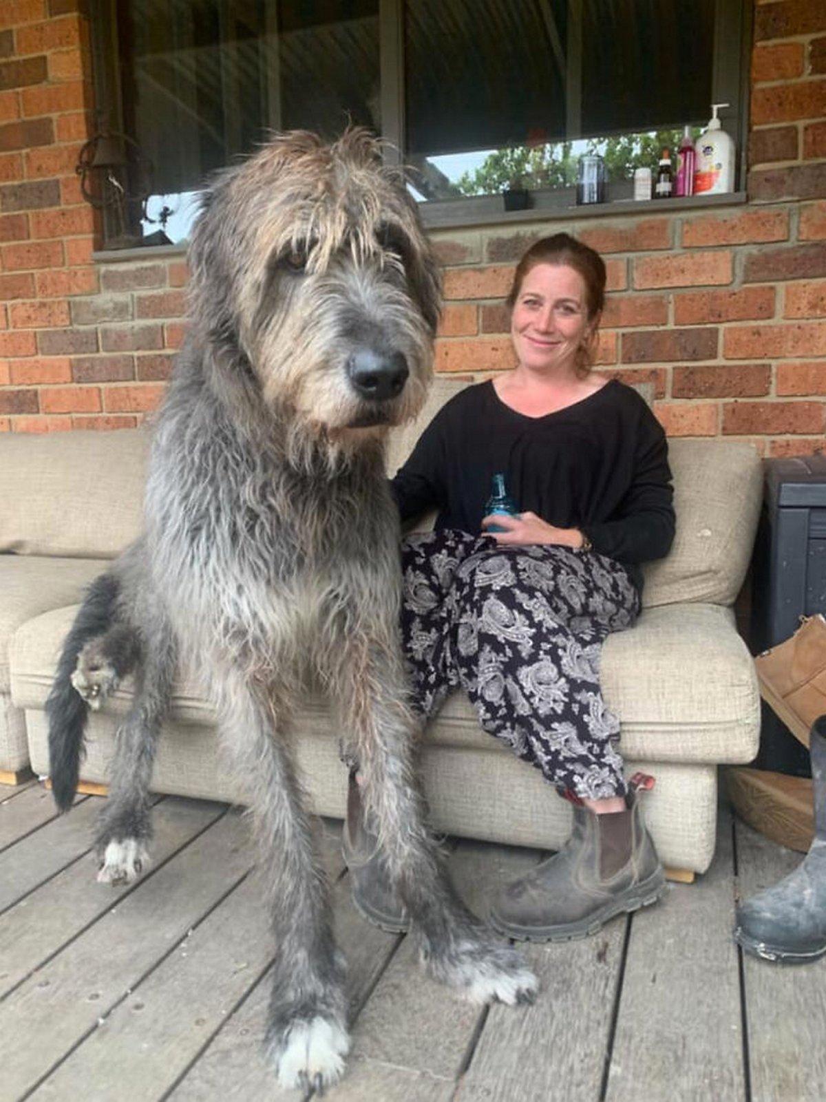 22 chiens géants qui ne comprennent pas à quel point ils sont gros ! Par Janvier Doyon Chiens-enormes-031