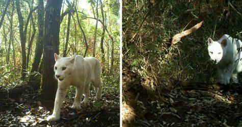 Des scientifiques confirment les premières images au monde d'un cougar blanc leucistique