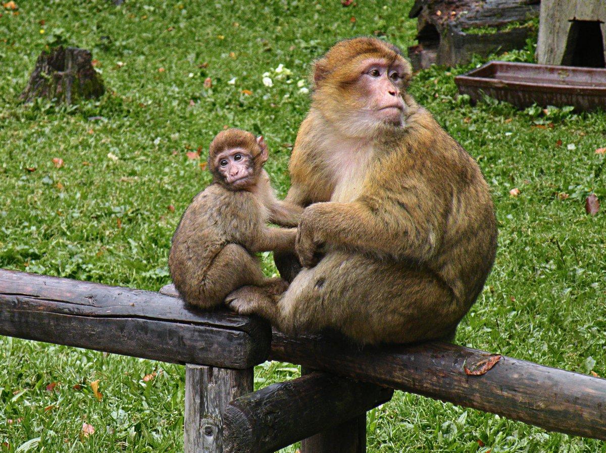 Des lions tuent un singe dans un parc safari alors que des familles regardent avec horreur