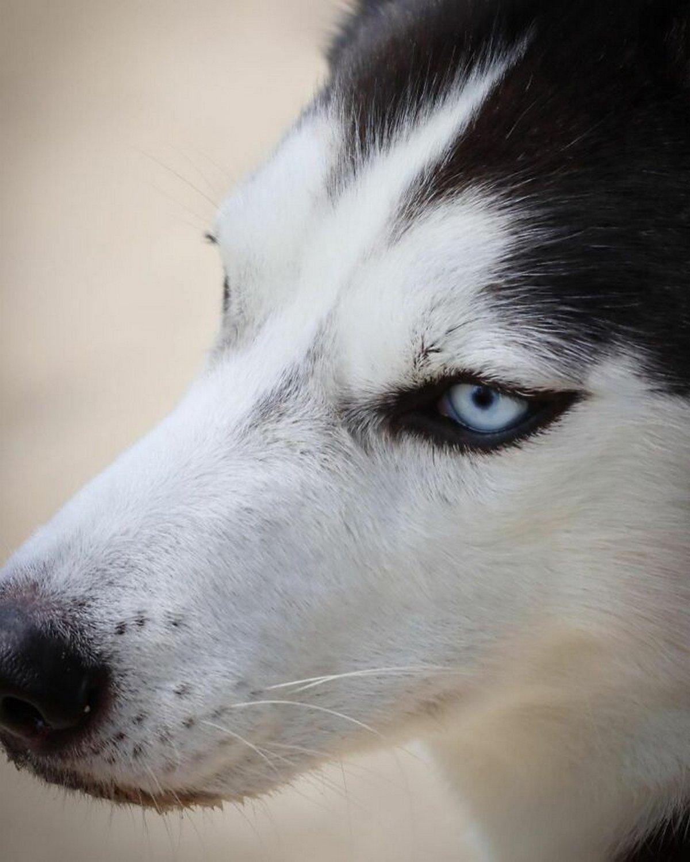 Ce magnifique husky a conquis le coeur des internautes et voici les 22 plus belles photos d'elle