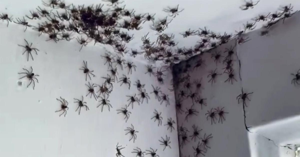 Une mère est terrifiée par une centaine d'araignées trouvées dans la chambre de sa fille