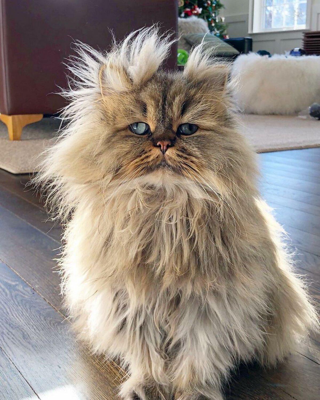 Voici Barnaby, le chat persan qui a toujours l'air de ne pas avoir encore pris son café du matin