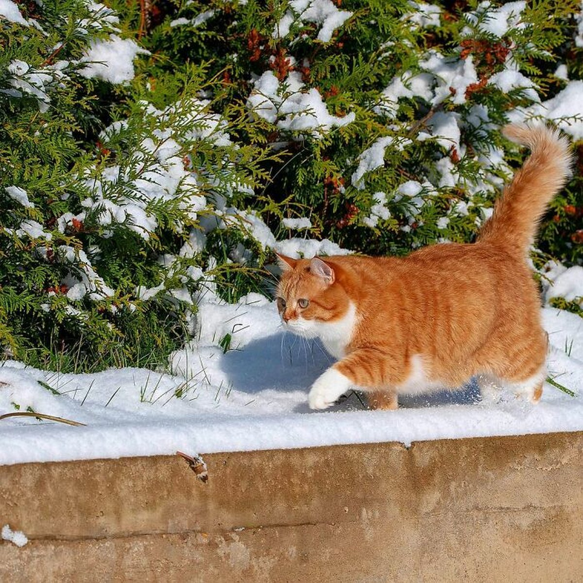 Ce joyeux chat roux adore la neige et ses photos sont adorables