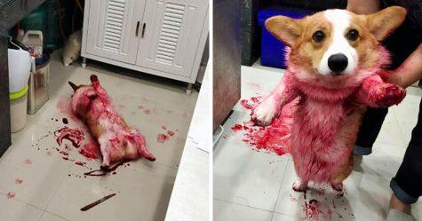 Ce corgi a donné une mini crise cardiaque à ses propriétaires après s'être roulé dans du sirop rouge et reposé dans le gâchis