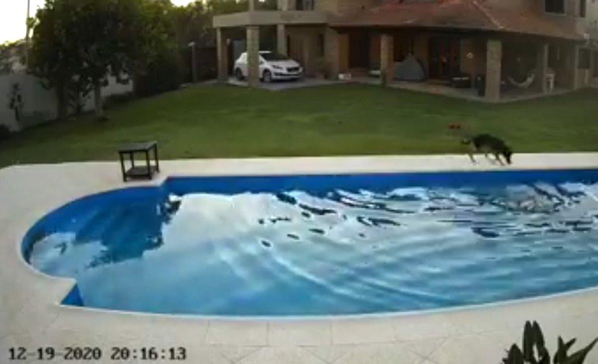 Une chienne a été filmée en train de sauver son amie de 14 ans tombée dans une piscine