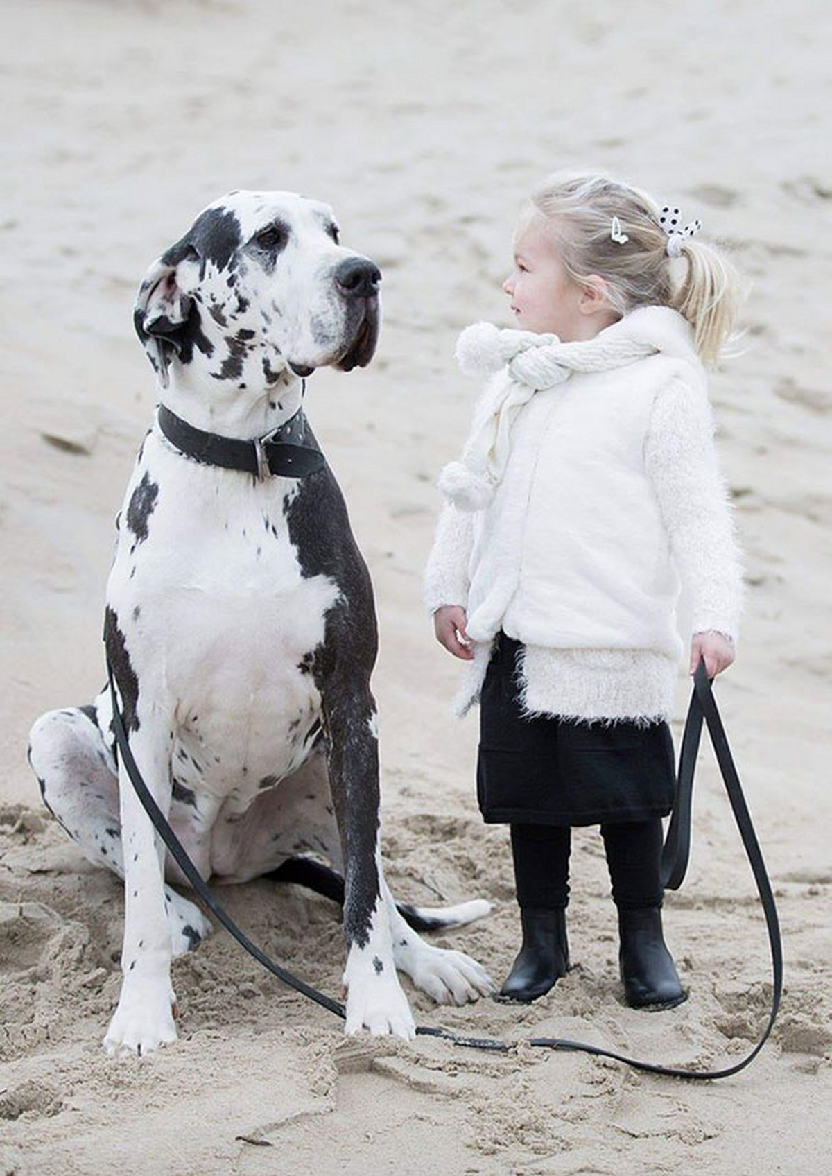 Ces dogues allemands énormes n'ont aucune idée à quel point ils sont grands