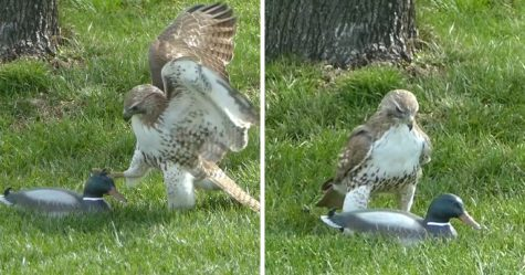 Ce faucon ne comprend pas pourquoi ce canard n'a pas peur de lui