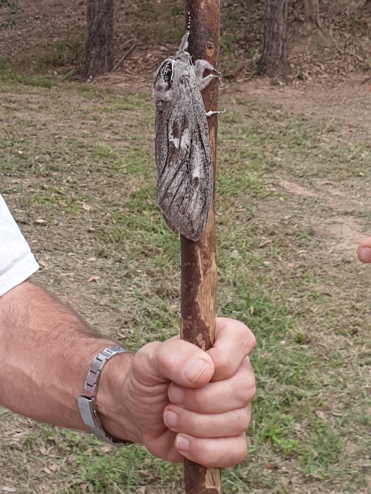 Une femme australienne découvre un papillon de nuit de la taille d'une main humaine avec une envergure de 25 cm