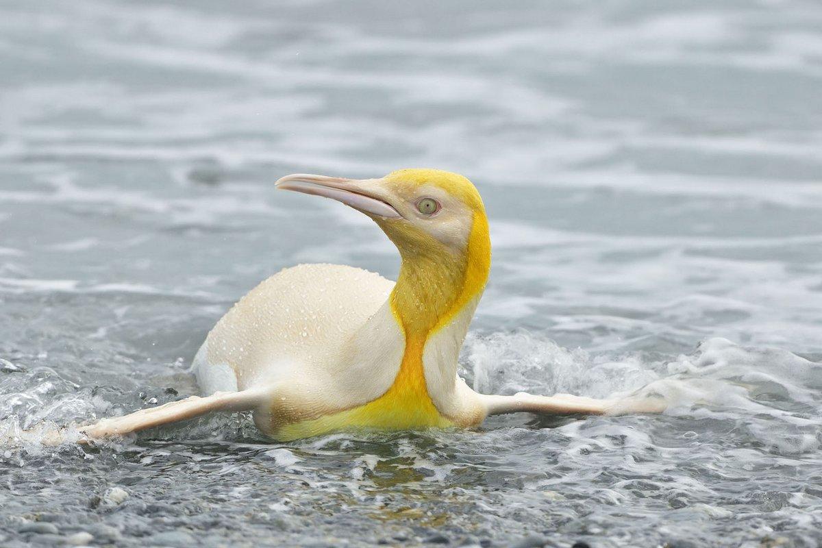 Un manchot jaune très rare a été repéré par un photographe