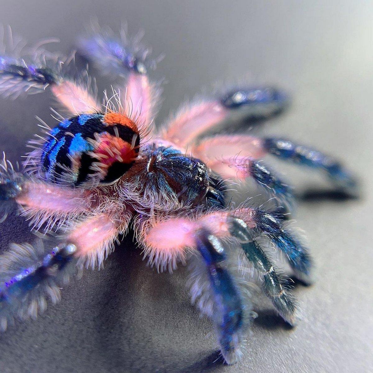 Ces mygales femelles vivent trois fois plus longtemps que les mâles de la même espèce