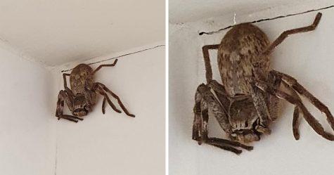 Une femme est terrifiée par une énorme araignée sparassidae après l'avoir aperçue dans la douche