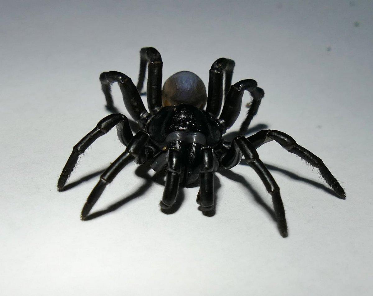 Cette nouvelle espèce d'araignée venimeuse qui ressemble à une tarentule peut vivre pendant des décennies