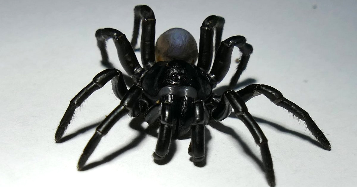 Découverte d'une nouvelle espèce d'araignée venimeuse ressemblant à une tarentule et pouvant vivre pendant des décennies