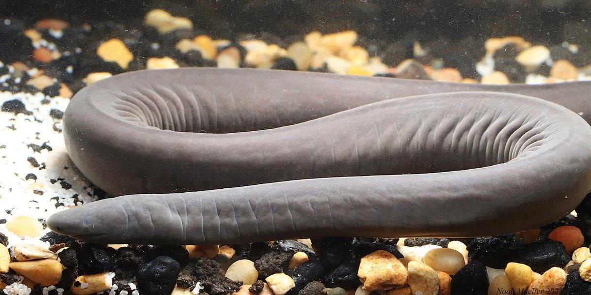 Des «serpents pénis» qui peuvent mesurer jusqu'à 150 cm de long envahissent la Floride