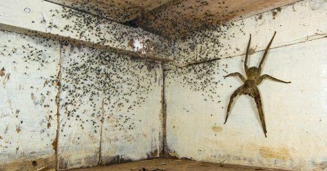 Un homme trouve une araignée de la taille de sa main et des milliers de ses bébés sous son lit